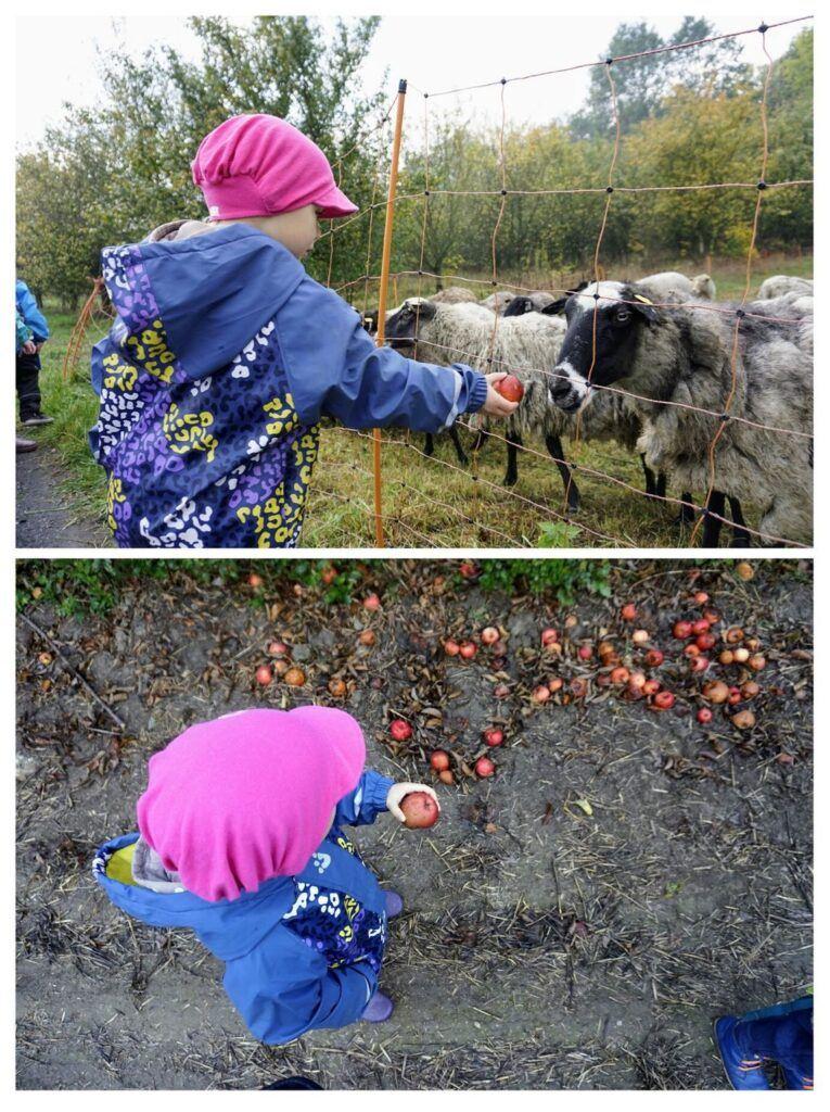 Děti v lesní školce krmí ovce nasbíranými jablky.